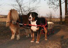 Fotos da Raça de Cachorro Grande Boiadeiro Suíço e Preços