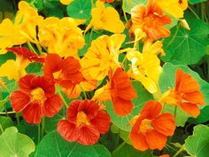 Flower Seeds - Nasturtium Alaska Mixed - My Garden in the Mist Edible Flowers, Colorful Flowers, Edible Plants, Edible Garden, Summer Flowers, Red Flowers, Flower Yellow, Hummingbird Plants, How To Attract Hummingbirds