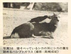 【画像】カラス「せや!シカの耳に糞突っ込んだろ!」 : 【2ch】ニュー速クオリティ