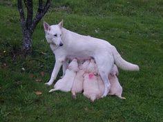 El Can de Palleiro es una raza de perro pastor de origen gallego. Es ...