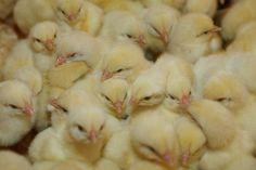Bakterier i norsk kylling