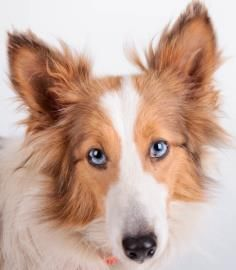 Petango.com – Meet Willow, a 2 years Shetland Sheepdog available for adoption in COLORADO SPRINGS, CO