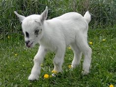 Crazy Cute Baby Goats playing and having fun they are sssooooo cute