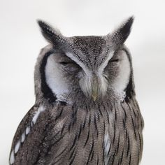 🌈 Get this free picture Gray White Snow Spotted Owl Close Up Photo    ✅ https://avopix.com/photo/41001-gray-white-snow-spotted-owl-close-up-photo    #owl #bird #cartoon #animal #ear #avopix #free #photos #public #domain