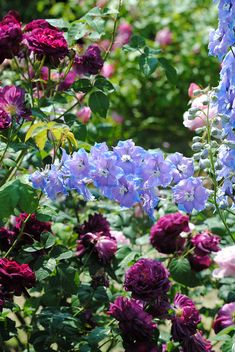 Lovely Combination of Roses and Delphiniums