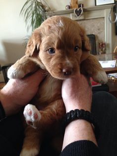 Nova Scotia duck tolling retriever puppy 4 weeks old