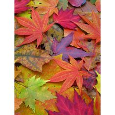 Image Gallery A Rainbow of Fall Leaves ❤ liked on Polyvore featuring backgrounds, autumn and fall