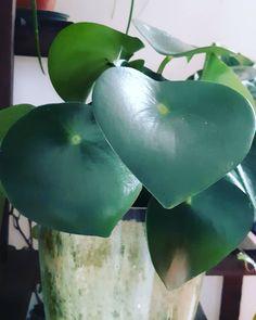 """ℙ𝕖𝕡𝕖𝕣𝕠𝕞𝕚𝕒 𝕡𝕠𝕝𝕪𝕓𝕠𝕥𝕣𝕪𝕒𝑜 𝓅𝑒𝓅𝑒𝓇𝑜𝓂𝒾𝒶 𝓇𝒶𝒾𝓃𝒹𝓇𝑜𝓅 𝑜 𝓅𝑒𝓅𝑒𝓇𝑜𝓂𝒾𝒶 𝒸𝑜𝒾𝓃 𝓁𝑒𝒶𝒻♾ Quando la pazienza paga....Era una delle piante della """"lista dei desideri"""". Finalmente l'ho trovata. E dal vivo è decisamente più bella di quanto mi aspettassi. 🌱 È una succulenta tropicale, dunque ama l'umidità ma teme i ristagni Plant Care, Evergreen, Bella, Tips, Tropical, Counseling"""