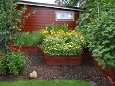 Gammal trädgård - massor av rotogräs - vad göra?