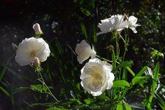 Ruusua ja aurinkoa  Schneewitzen