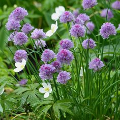 I love how they look like pom-poms. And the colour. In fact they are quite wonderful in many ways... except for the spreading issue...