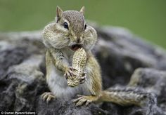Comedy cheeks: The chipmunk had been among a group of eight that had been given the nuts to share