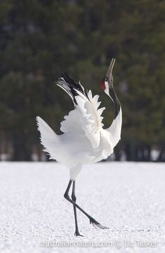 Red-crowned Crane (Grus japonensis) - This endangered species reached the verge of extinction in the early 1900s primarily as a result of the loss of wetlands to agriculture. Since then conservation efforts have led to a population increase. More than 1000 birds now live in eastern Hokkaido, Japan, year round. They pair for life and  perform elaborate courtship dances. © Elizabeth Tasker / Wildlife Images