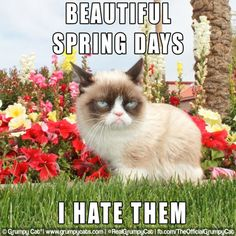 Beautiful spring days...  Tardar Sauce by the flowers (which I'm sure she hates) March 2014 #GrumpyCat #Tard #TardarSauce