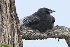 Juvenile raven (Photographer: Norman Rich)