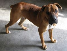 Sole the Boxer / Shar-Pei hybrid dog (Box-a-Shar) at almost 1 year old.