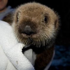 Orphan Sea Otter Finds a New Home at the Pittsburgh Zoo & Aquarium