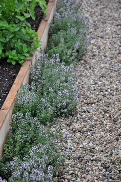 I love the idea of growing thyme along the side of the raised gardens. I may very well do this this year.