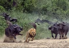 Africa | Lion being chased by Cape buffalo in Kruger National Park, South Africa |