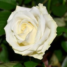 """Rose Blanche """"Avalanche"""""""