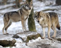 #Wolves Have Returned to Denmark After 200 years - Newsweek: Newsweek Wolves Have Returned to Denmark After 200 years Newsweek Scientists…