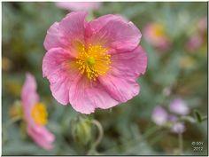 Rock Rose- perennial in full sun