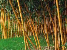 La belle couleur jaune doré de cette variété de bambou (Phyllostachys viridis 'Sulfurea') contraste spectaculairement avec le vert de la pelouse. (Photo Perdereau)