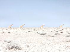 Giraffes, Etosha National Park, Namibia 2015 Photographer Maroesjka Lavigne