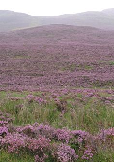 Schiehallion - Purple heather | Traditional purple heather o… | Flickr
