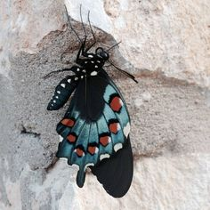 Remember that cool caterpillar we posted this morning? Here it is as a brand new adult pipevine swallowtail butterfly! Have you spotted any cool butterflies lately? (Abra Zobel/USFWS) #butterfly #swallowtail #nature #wildlife