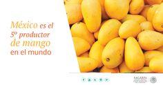 México es el 5° productor de mango en el mundo.  SAGARPA SAGARPAMX