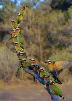 Kalahari. Bee eaters