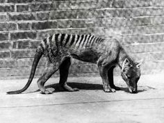The Tasmanian tiger becomes extinct - a picture from the past On 7 September 1936, the death of the last officially recorded thylacine occurred at Hobart Zoo in Tasmania. A carnivorous marsupial, the thylacine was also known as the Tasmanian tiger or Tasmanian wolf. It is believed to have become extinct as a result of disease, the introduction of dogs in Tasmania and from being hunted by humans. Article and photos. CLICK