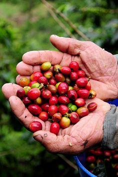 Coffee, Colombia. Reiner Kaffee. Frisch gepflückte Kaffeebohnen.
