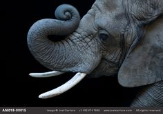 Image ID ANI018-00015 African Elephant.  This picture brings tears to me eyes.  Joel Sartore, The Biodiversity project