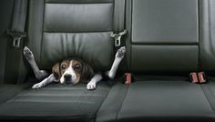 Dog In The Car - when you drive too fast..