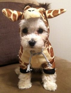 This giraffe costume is his favorite thing to wear Cute Small Dogs, Small Puppies, Cute Puppies, Cute Dogs, Puppy Halloween Costumes, Puppy Costume, Pet Costumes, Animals In Costumes, Chihuahua Costumes