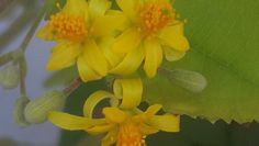 Falsa flowers