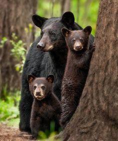 Mena, Arkansas black bear