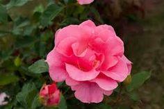 Bildergebnis für rose romanze