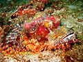 Scorpionfish - nature photography, Bearded Scorpionfish (Scorpaenopsis barbata)