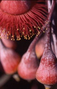 color inspiration, marsala pantone color of the year 2015 Australian Wildflowers, Australian Native Flowers, Australian Plants, Marsala, Exotic Flowers, Wild Flowers, Beautiful Flowers, Flora, Australian Native Garden