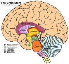 autism corpus callosum and search on pinterest : corpus callosum diagram - findchart.co