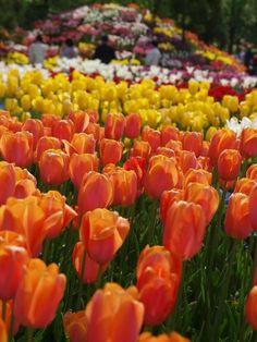 Tulip Festival, Tonami, Toyma, Japan