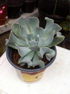 Echeveria Topsy Turvy - http://www.gardenanswers.com/succulents/echeveria-topsy-turvy/