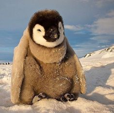 Photograph by // Happy World Penguin Day everyone! Here a baby emperor penguin chick soaks in some sun on a crisp evening on the Ross Sea in Antarctica. Feel free to on to see more of my favorite images of With by natgeotravel Cute Baby Penguin, Cute Penguins, Penguin Craft, Animals And Pets, Baby Animals, Cute Animals, Penguin Animals, Vulnerable Species, Cute Animal Photos