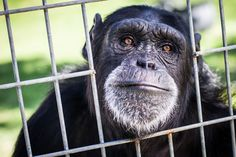 A natural curiosity led to disaster when two chimpanzees escaped from their northwest Las Valley Valley home two years ago, but now the surviving primate is loving her life at an Oregon sanctuary.