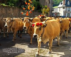 Transhumance of Aubrac cows herds, traditions in Aveyron, South Massif Central in France