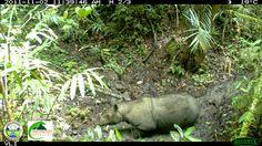 sumatran rhino - Cerca con Google