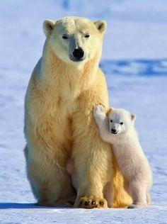 Call your senators! to the Arctic Wildlife Refuge oil drilling! Call your senators! to the Arctic Wildlife Refuge oil drilling! Photo Animaliere, Photo Chat, Nature Animals, Animals And Pets, Wildlife Nature, Cute Baby Animals, Funny Animals, Baby Panda Bears, Bear Cubs
